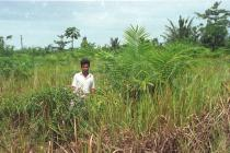Imperata cylindrica - In young oil palm planting - Click to enlarge!
