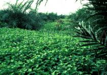 Ipomoea aquatica - Extensive cover in oil palm plantation - Click to enlarge!