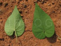 Ipomoea ochracea - Upper and lower surface of leaf - Click to enlarge!