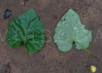 Ipomoea pileata - Upper and lower surface of leaf - Click to enlarge!