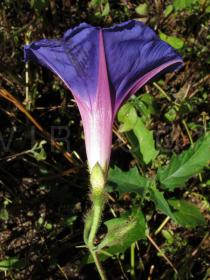 Ipomoea purpurea - Flower, side view - Click to enlarge!