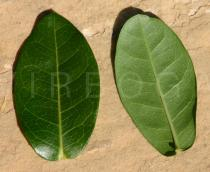 Ixora coccinea - Upper and lower surface of leaf - Click to enlarge!