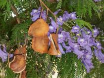 Jacaranda mimosifolia - Pods - Click to enlarge!