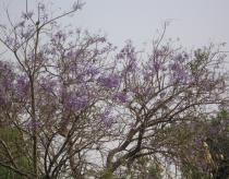 Jacaranda mimosifolia - Branches with flowers - Click to enlarge!