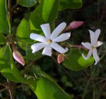 Jasminum dichotomum - Flowers - Click to enlarge!