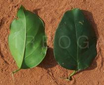 Jasminum dichotomum - Upper and lower surface of leaf - Click to enlarge!