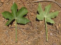 Jatropha mollissima - Upper and lower surface of leaf - Click to enlarge!
