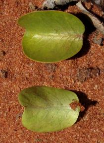 Jatropha mutabilis - Upper and lower surface of leaf - Click to enlarge!