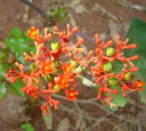 Jatropha podagrica - Inflorescence - Click to enlarge!
