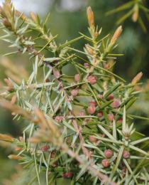 Juniperus oxycedrus - Immature cones - Click to enlarge!