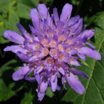 Knautia dipsacifolia - Inflorescence - Click to enlarge!