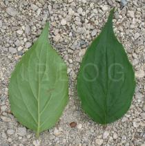 Kolkwitzia amabilis - Upper and lower surface of leaf - Click to enlarge!