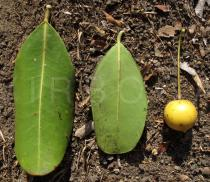Labramia bojeri - Upper and lower surface of leaf and fruit - Click to enlarge!