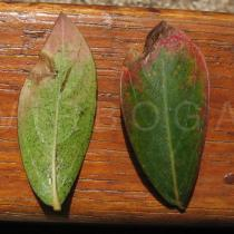 Lagerstroemia indica - Upper and lower surface of leaf - Click to enlarge!