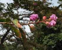 Lagerstroemia indica - Flowers - Click to enlarge!