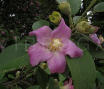 Lagunaria patersonia - Flower - Click to enlarge!