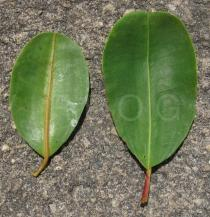 Laguncularia racemosa - Upper and lower surface of leaf - Click to enlarge!