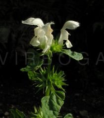Lamium album - Flowers - Click to enlarge!
