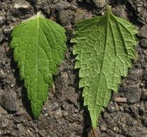 Lamium album - Upper and lower surface of leaf - Click to enlarge!