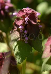 Lamium purpureum - Flower - Click to enlarge!