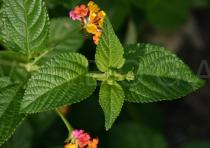 Lantana camara - Bud - Click to enlarge!