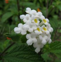 Lantana montevidensis - Flowers - Click to enlarge!