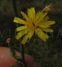 Launaea taraxacifolia - Inflorescence - Click to enlarge!