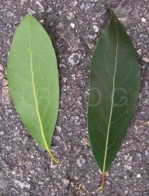 Laurus nobilis - Top and lower side of leaf - Click to enlarge!