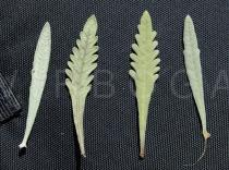 Lavandula dentata - Upper and lower surface of leaves - Click to enlarge!