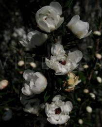 Leptospermum scoparium - Flowers - Click to enlarge!