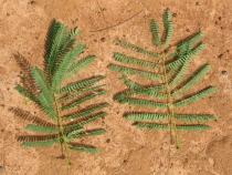 Leucaena leucocephala - Upper and lower surface of leaf - Click to enlarge!
