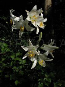 Lilium candidum - Habit - Click to enlarge!