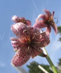 Lilium martagon - Flower - Click to enlarge!