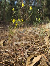 Linaria caesia - Habit - Click to enlarge!