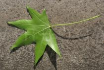 Liquidambar styraciflua - Leaf from below - Click to enlarge!