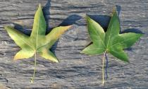 Liquidambar styraciflua - Upper and lower surface of leaf - Click to enlarge!