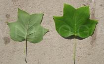 Liriodendron tulipifera - Top and lower side of leaf - Click to enlarge!