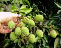 Litchi chinensis - Fruits - Click to enlarge!