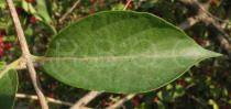 Lonicera maackii - Upper leaf surface - Click to enlarge!