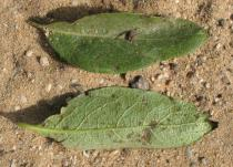 Lonicera periclymenum - Upper and lower side of leaf - Click to enlarge!