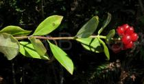 Lonicera periclymenum - Branch with fruits - Click to enlarge!