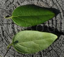 Lonicera periclymenum - Upper and lower surface of leaf - Click to enlarge!