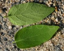 Lonicera tatarica - Upper and lower surface of leaves - Click to enlarge!