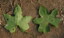Luffa aegyptiaca - Upper and lower surface of leaf - Click to enlarge!