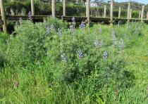Lupinus angustifolius - Habit - Click to enlarge!