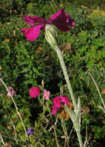 Lychnis coronaria - Flower, side view - Click to enlarge!