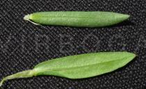 Lythrum junceum - Upper and lower surface of leaf - Click to enlarge!