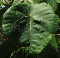 Macaranga grandifolia - Upper surface of leaf blade - Click to enlarge!