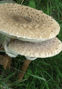 Macrolepiota procera - Caps, side view - Click to enlarge!