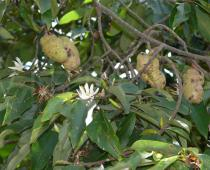 Magnolia baillonii - Branches with flowers and fruits - Click to enlarge!